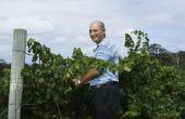 De druiven groeien op bomen of wijnstokken?
