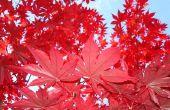 Hoe Trim & vorm een rode esdoorn-boom