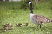 Welke vogels maken hun nesten op de grond?