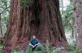 How to Plant and Grow een zaailing Redwood