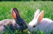 Hoe lang duurt het voor een pasgeboren Bunny te haren groeien?