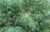 Hoe Trim bamboe planten