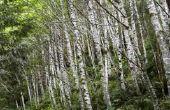 Informatie over de Birch Tree van Tennessee