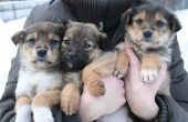 Hoe om te trainen van meerdere pups op hetzelfde moment