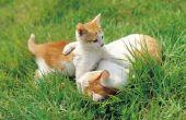 Waarom zijn katten aangetrokken tot Catnip?