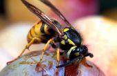 Hoe te voorkomen gele jas insecten rond de Patio
