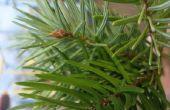 Lijst van kleine groenblijvende bomen