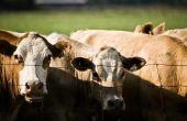 Wat zijn de oorzaken van zware ademhaling bij runderen?
