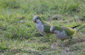 Verschillen in Male & vrouwelijke Quaker papegaaien