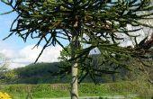 Hoe Plant een boom van de aap