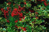 Soorten van groenblijvende bomen met rode bessen
