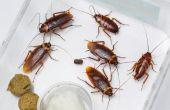 Wat zijn de kleine bruine Bugs die zijn gevonden op aanrecht & kasten?