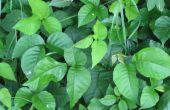 De beste behandeling voor Poison Ivy