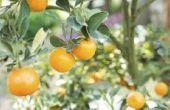 Het verschil in satsuma's & Tangerines