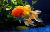 Het wijzigen van de goudvis Tank Water