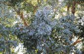 Het behouden van de Eucalyptus bladeren voor gedroogde bloemstukken