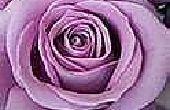 How to Get Rid van Bugs op rozen, de groene weg