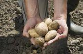 Wat Is het beste klimaat voor het planten van aardappelen?