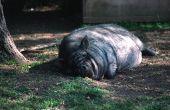 Hoe de zorg voor de huid van het varken