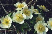 De 10 interessante feiten over Anemone bloemen