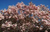 Waarom zet Magnolia bladeren bruin?