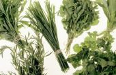 Hoe koriander zaden ontkiemen