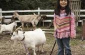 Grapje complicaties voor Pygmy geiten