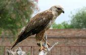 Lijst van roofvogels in Georgië