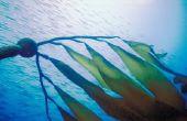 Wat gebeurt er met Kelp bossen bij zee-egels zijn niet aanwezig in het ecosysteem?