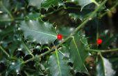 Witte Bugs doden een Holly struik