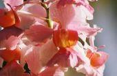 Hoe Trim en zorg voor Indoor orchideeën
