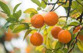 Verschillende soorten citrusbomen