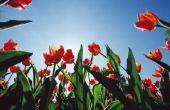 Kan gras Kill tulpen?
