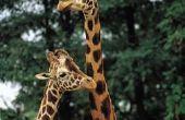Aanpassingen van giraffen leven in een Savannah