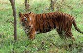 Hoe maak je een tijger kostuum