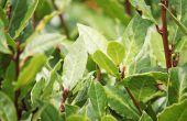 De beste kleine bomen voor POTS-doeleinden