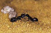 De kleine zwarte mieren die bijten