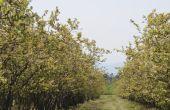 Japanse Blueberry boom ziekte