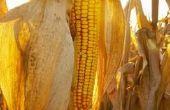Hoe Plant & groeien maïs