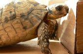 Afrikaanse aangespoord Tortoise dieet
