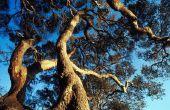 Mijn Live Oak verliest bladeren