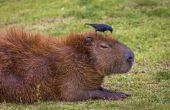 Amerikaanse wetten op de invoer van Capybaras