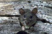 Hoe om te doden een Rat in de tuin
