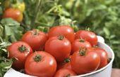 Tomaten zal produceren Fruit op sukkels?