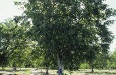 Mijn Black Walnut Tree heeft wormen