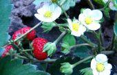 De beste tijd om te planten van aardbeien in Arkansas