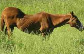 Symptomen van lintwormen bij paarden