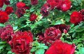 Hoe te handhaven & zorg voor een Rose Bush