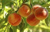 Perzikbomen voor koude locaties