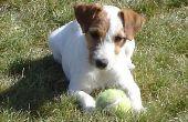 Hoe te ontdoen van een Jack Russell Terrier vacht
